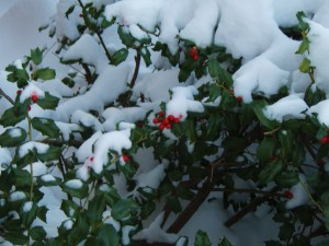 Holly bush underneath the kitchen window