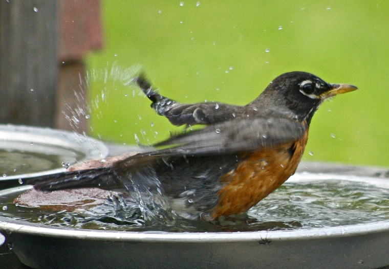 Nothing like a dip in the birdbath!