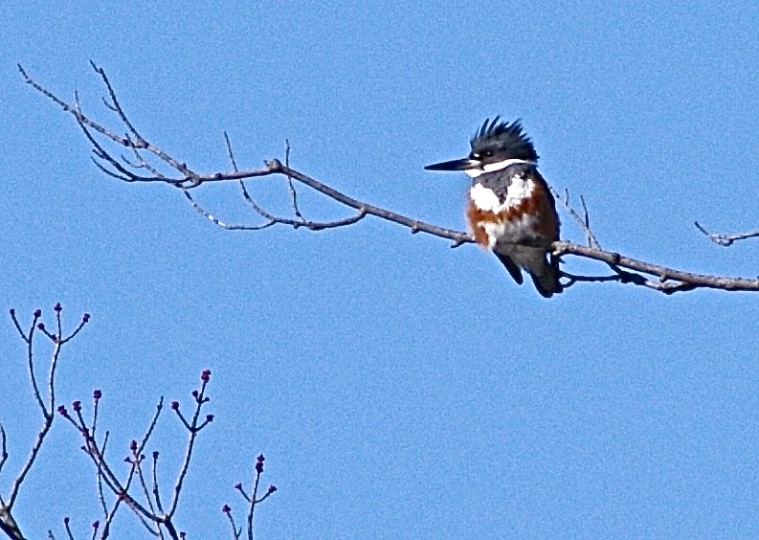 87/365  Kingfishers are back! This is a female Belted Kingfisher.