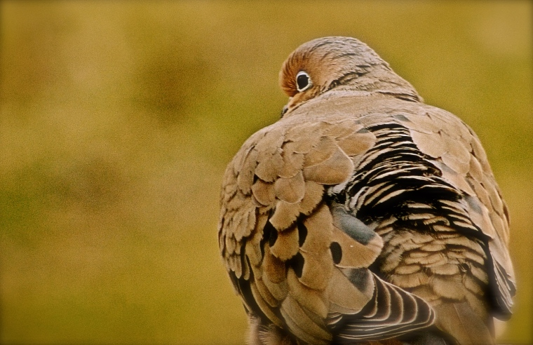 Mourning Dove sitting on our deck this morning.